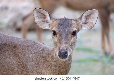 Eld's deer close up face