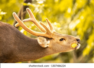 Eld's deer eating a corn with a funny neck position, A deer eating a corn, Eld's deer eating portrait, Deer closeup, Beautiful backlight