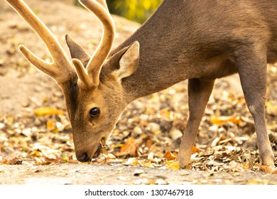 Eld's deer eating a leaf on the ground, Deer portrait, Eld's deer portrait with a beautiful backlight