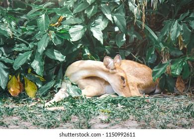 Eld's deer is an endangered species of deer indigenous to Southeast Asia.