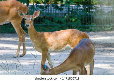 Eld's deer is an endangered species of deer indigenous to Southeast Asia. The   subspecies in the photo is  The Burmese brow-antlered deer.