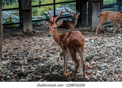 Eld's deer - The hair is reddish brown.In winter, the fur is very long.