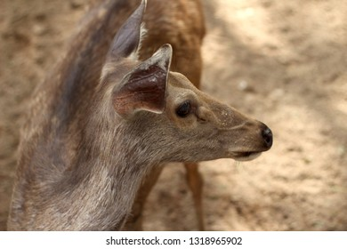 Eld's deer also known as the thamin or brow-antlered deer (Panolia eldii), is an endangered species of deer indigenous to Southeast Asia taken at the zoo of yangon, Myanmar - Image