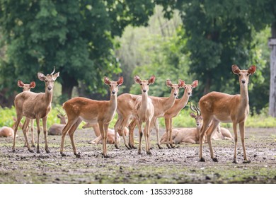 Eld's Deer: Known as Thiamine or Brow-antlered Deer, they live near extinction due to habitat loss and hunting