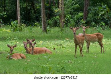 Eld's Deer: also knowned as Thamin or Brow-antlered Deer, it is indigenous to Southeast Asia and Endangered due to habitat loss and hunting; the herd can be confiding but always alert for predators.