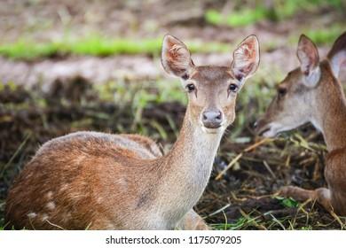 Eld's deer lying on floor / Thamin , Brow-antlered deer wildlife in the farm