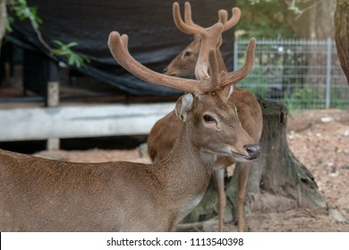 Eld's deer in nature, Cute animal world thamin, Brow-antlered deer (Panolia eldii). Beautiful deer resting in nature. A couple of Eld's deer( Panolia eldii) endangered species, in national park.