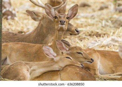 Eld's deer in nature,Cute animal world thamin, Brow-antlered deer (Panolia eldii)
