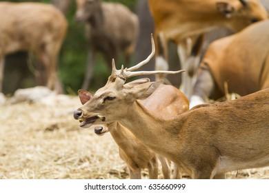 Eld's deer in nature,Thamin, Brow-antlered deer (Panolia eldii)