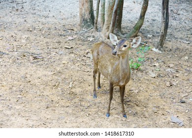 The Eld's Deer on feeding ground in a zoo. Deer in a zoo.