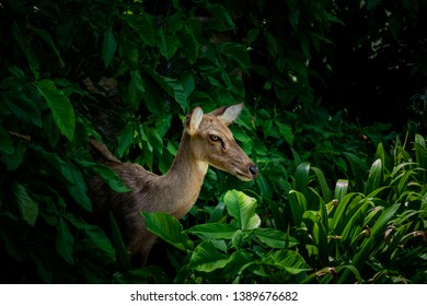Eld's deer (Panolia eldii) also known as the thamin or brow-antlered deer, is an endangered species of deer indigenous to Southeast Asia