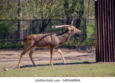 Eld's deer (Panolia eldii), also known as the thamin or brow-antlered deer, is an endangered species of deer indigenous to Southeast Asia.