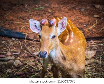 Eld's deer (Rucervus eldii siamensis) is a mammal of the even-toed ungulate species. A medium-sized deer Feathers on the body Auburn. The hair color is lighter on into summer long and coarse hair.
