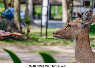 Eld's Deer (Rucervus eldii siamensis) being fed for animal and wildlife concept