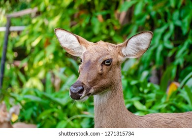 Eld's Deer (Rucervus eldii siamensis) against natural green background for animals and wildlife concept