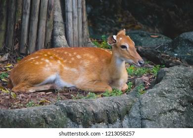Eld's deer (Rucervus eldii slamensis relaxing in zoo.