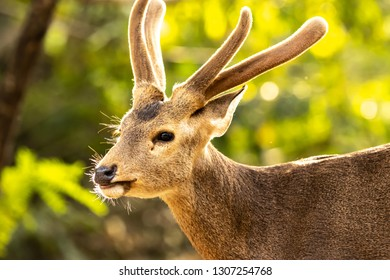 Eld's deer standing alone in a jungle, Eld's deer happlily walking alone in the jungle, Deer portrait, Eld's deer portrait with beautiful backlighting.
