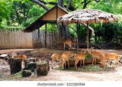 Eld's deer or Thamin or Brow-antlered deer in cage at public park in Bangkok, Thailand for Thai people and foreigner travelers walking visit and travel looking