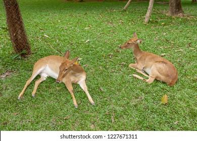 Eld's deer, Thamin, Brow-antlered deer ( Panolia eldii )