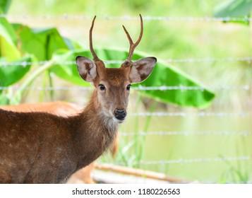 Eld's deer thamin , Brow-antlered deer wildlife in the farm