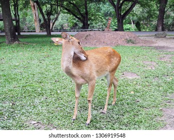 Eld's deer walk and seek for their folk in the zoo, with natural background.
