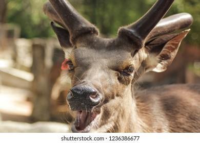 Eld's deer in the zoo,close up deer,deer smile