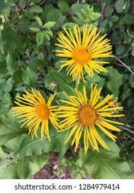 Elecampane flower near Lake Erie