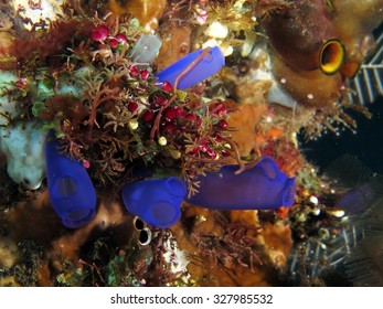 Electric blue colonial sea squirts (ascidians, tunicates)