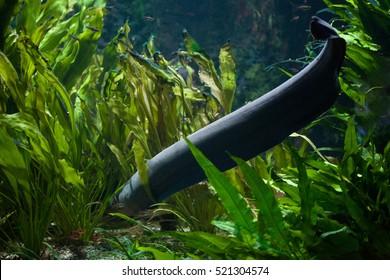 Electric eel (Electrophorus electricus). Freshwater fish.