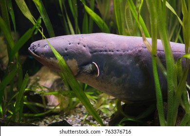 Electric eel (Electrophorus electricus). Tropical fish.