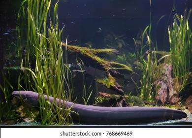 Electric eel (Electrophorus electricus). Tropical fish.
