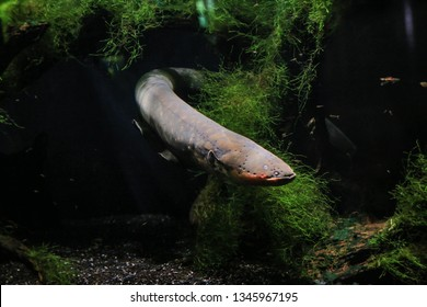 An electric eel emerges from the algae. Visible his head, fins, eye. It's dark in the background.