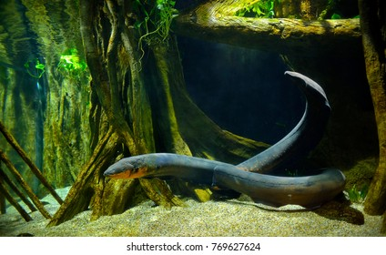 Electric eel in freshwater aquarium, selective focus.