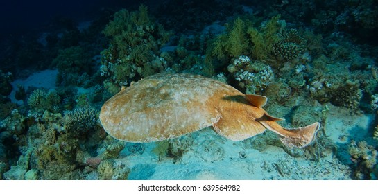 Electric torpedo stingray swim over the coral garden in Ras Mohammed