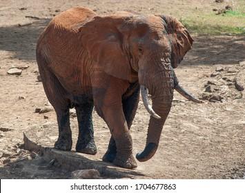 Elefant in african savanna. Kenya national park