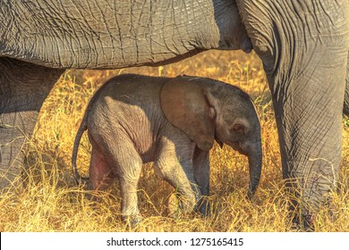 Elefant calf protected by mum. Safari game drive in Pilanesberg National Park, South Africa. The African Elephant is part of the Big Five.