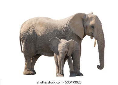 elefant with calw isolated on white background, seen in namibia, africa