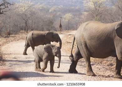 Elefant family crossing the road