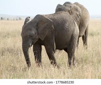 elefant family shot in Africa