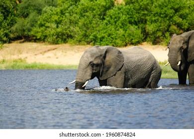 Elefant im Chobe Nationalpark beim Baden im Wasser - Shutterstock ID 1960874824