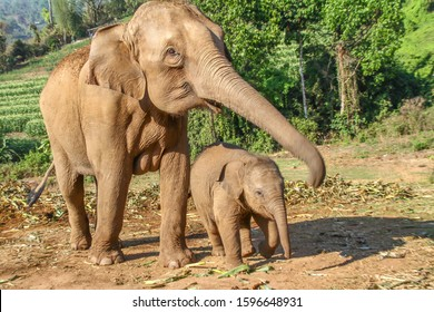 Elefant mother with its baby on a harvested field in the jungle of Thailand