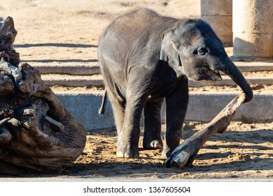 Elefant plays with wood