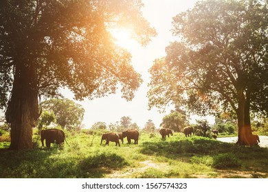 Elefants family herd grazing near the pond in national nature park Udawalawe, Sri Lanka
