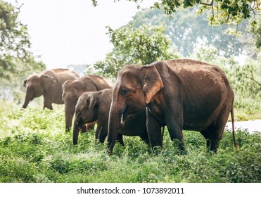 Elefants family near the pond in national nature park Udawalawe, Sri Lanka