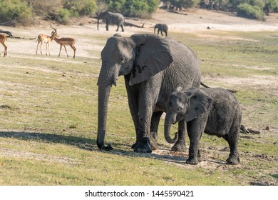 Elefants at the wetlands at the chobe river in Botswana, africa