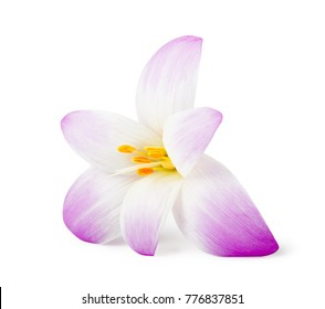 Crocus flower images stock photos vectors shutterstock elegance flower isolated on white background mightylinksfo