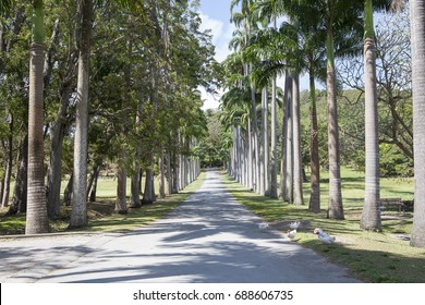Elegant Avenue of Palm Trees. On the island of Barbados the locals plant native palm trees to create an elegant stretch of road.