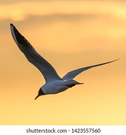 Elegant Black headed Gull flying with spread wings by a colored sky