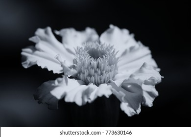 Black And White Flowers Photography Images Stock Photos Vectors