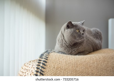 Elegant British Short Hair cat lying on a rug on top of a wicker stool in a bedroom in Edinburgh, Scotland, UK, with the light coming through the blinds as she looks away.